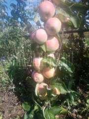 Продажа яблок оптом и в розницу